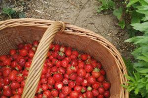 Saisonkalender Juni: Saisonales Obst und Gemüse im frühen Sommermonat Juni. Ernte von Kirschen, Erdbeeren, Mangold, Radieschen ...